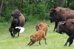 bison_run